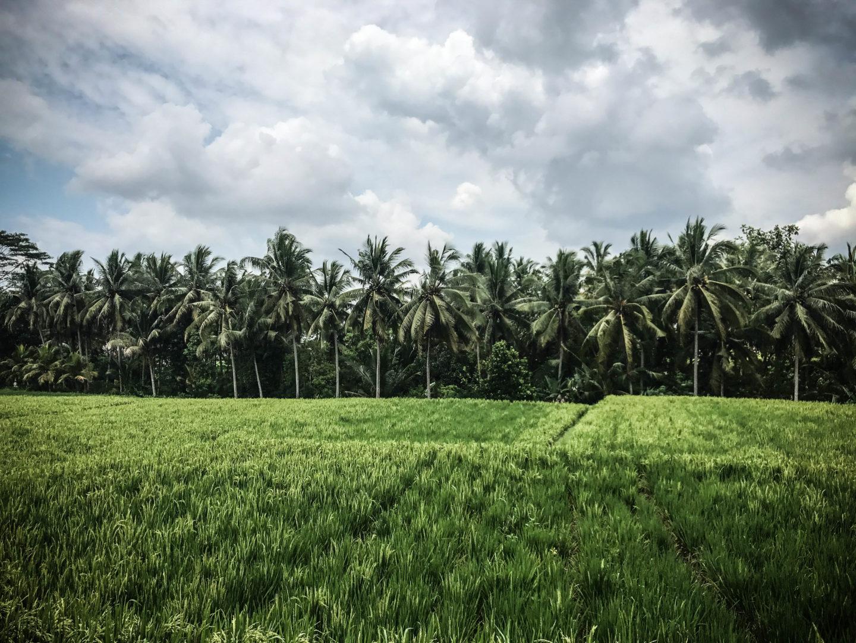 La route du riz Ubud Bali