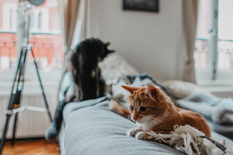 Berlioz et Scarlett chats adoptés